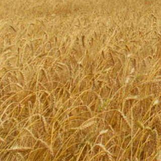 croquetas de germen de trigo